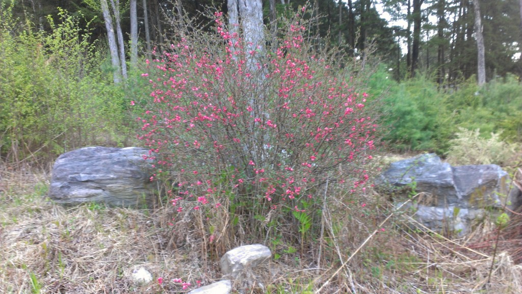 A big bush with pink flowers